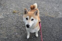 柴犬美春姫