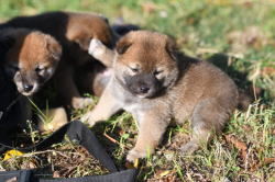 柴犬の赤ちゃんたち